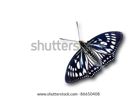 Courtesan purple butterfly color isolated on white