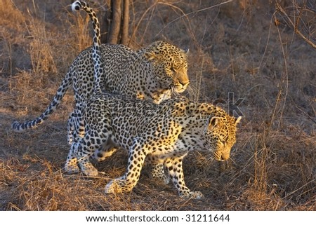 Courting Leopards - stock photo