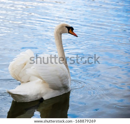 Courting white swan on  the blue lake water.  - stock photo
