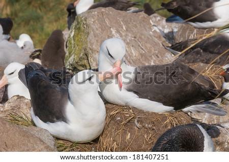Courtship display of adult black browed albatross - stock photo
