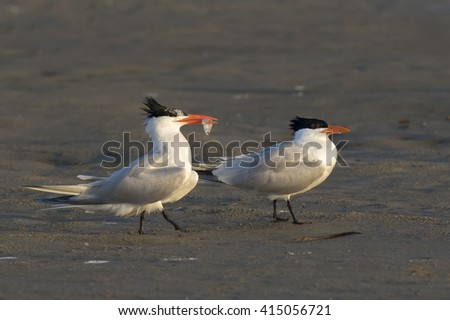 Courtship of royal terns (Thalasseus maximus) at the ocean beach, Galveston, Texas, USA. - stock photo