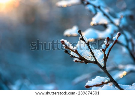 covered Christmas branch with snow and drops in sunset winter forest  - stock photo