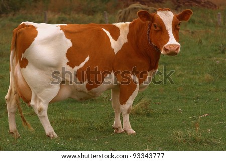 cow - stock photo