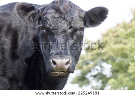 Cow, Aberdeen Angus breed - stock photo
