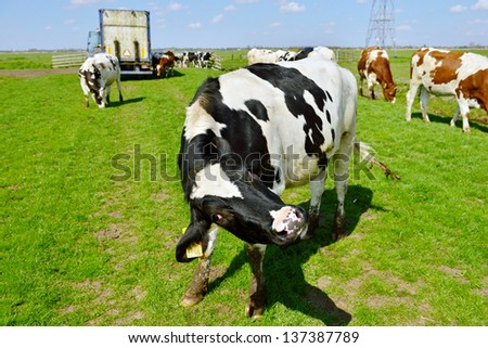cow acting weird after livestock transport to green meadow - stock photo