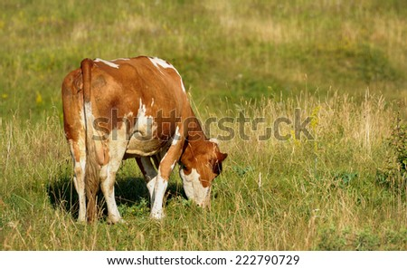 Cow against a background of green grass.  - stock photo