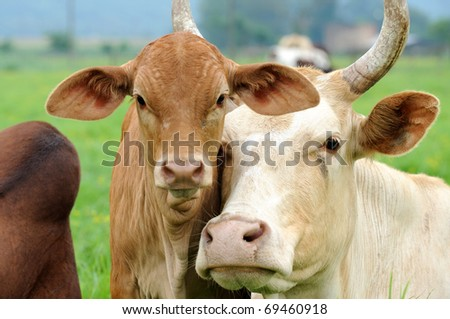 cow and calf affection - stock photo