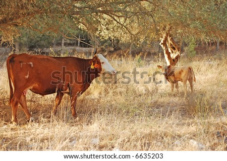 cow and calf in nature - stock photo