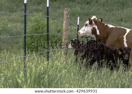 Cow and calf look out toward the other side of the fence  - stock photo