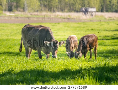 Cow and two calves herding.