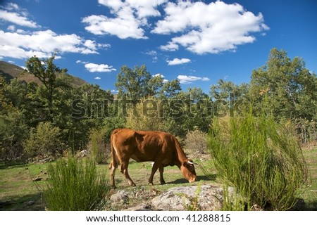 cow at gredos mountains in avila spain