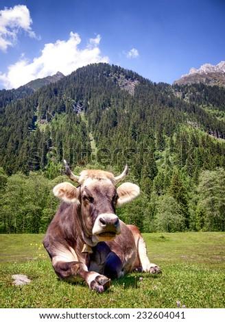 cow at the european alps - stock photo