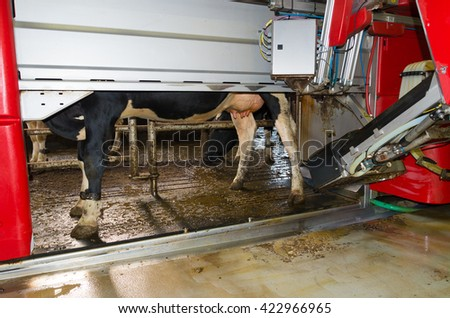cow being milked by a fully automated milking robot - stock photo