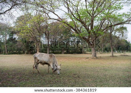 Cow Bovine or Cattle were grazing in the field and eating food from nature. - stock photo