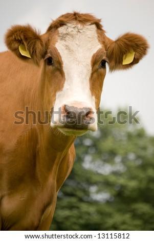 Cow Brown White Portret view - stock photo