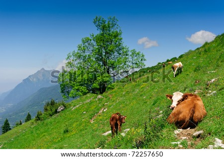 Cow calf lying on alpine slop with green grass under blue sky. Shallow DOF, focus on cows eyes. - stock photo