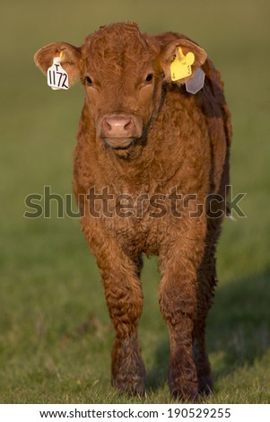 Cow - Cattle - stock photo