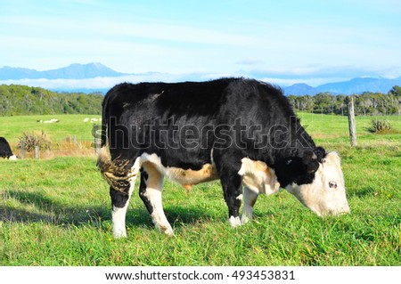 Cow cattle and mountain view in New Zealand South island