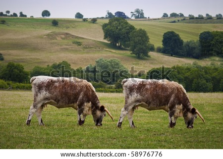 Cow Cloning. Genetic Modification. - stock photo