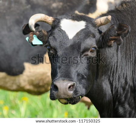 Cow Close-Up Looking at Camera - stock photo