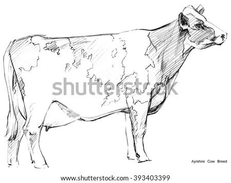 Cow. Cow sketch. Dairy cow pencil sketch. Animal farm. Ayrshire Cow Breed. - stock photo