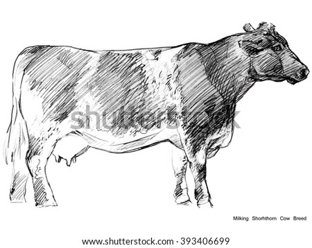 Cow. Cow sketch. Dairy cow pencil sketch. Animal farm. Milking Shorhthorn Cow Breed - stock photo