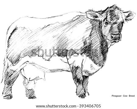 Cow. Cow sketch. Dairy cow pencil sketch. Animal farm. Pinzgauer Cow Breed - stock photo