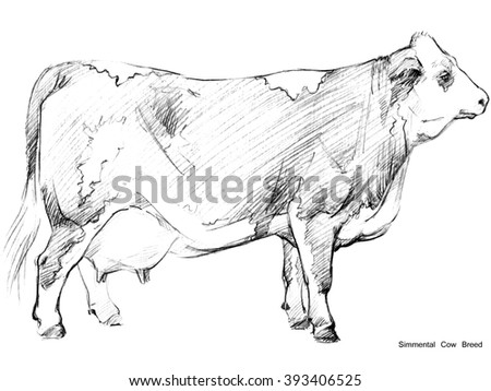 Cow. Cow sketch. Dairy cow pencil sketch. Animal farm. Simmental Cow Breed - stock photo
