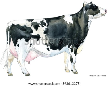 Cow. Cow watercolor illustration. Milking Cow Breed. Holstein Cow Breed - stock photo
