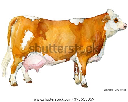 Cow. Cow watercolor illustration. Milking Cow Breed. Simmental Cow Breed - stock photo