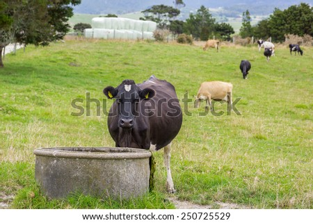 Cow drinking from water trough - stock photo