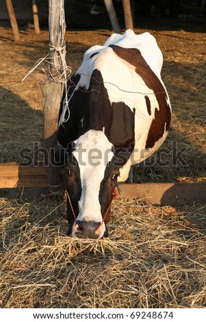 Cow eating dry grass on the farm - stock photo