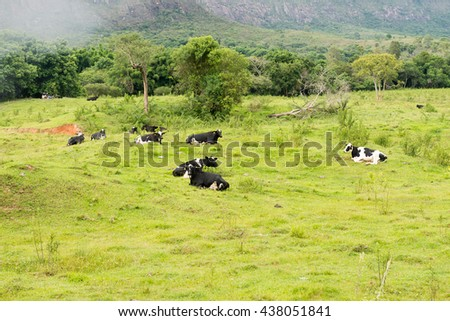 Cow eating food and resting under the tree in Minas Gerais, Brazil - stock photo