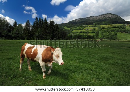 Cow eating grass in a beautiful Alpine landscape, Austria - stock photo