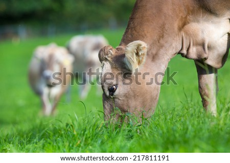 Cow eating grass in summer - stock photo