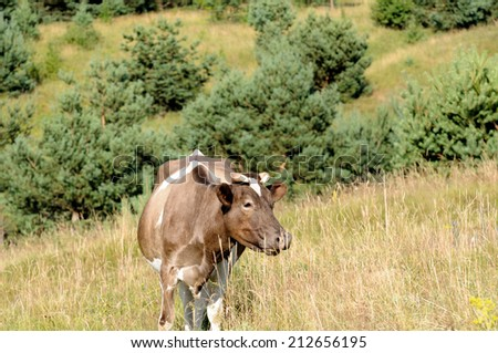 Cow eating grass in the pasture . - stock photo