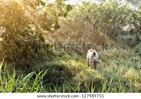 cow eating in farm with beam light - stock photo