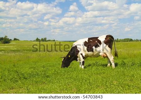 cow eats grass - stock photo