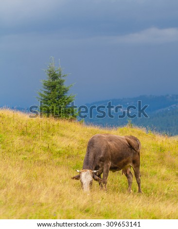 cow eats grass in the Carpathian mountains - stock photo