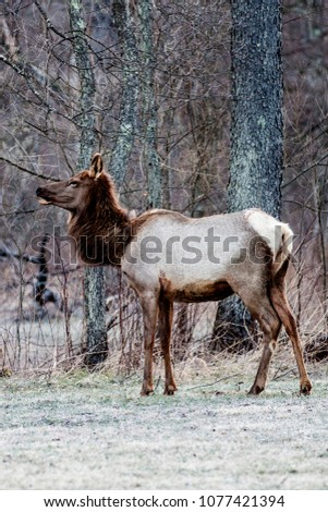 Cow elk in the early spring