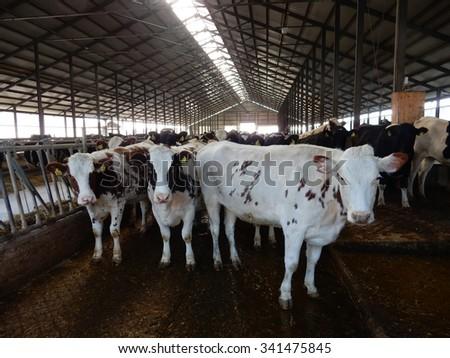 cow farm - stock photo