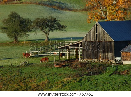 Cow Farm - stock photo