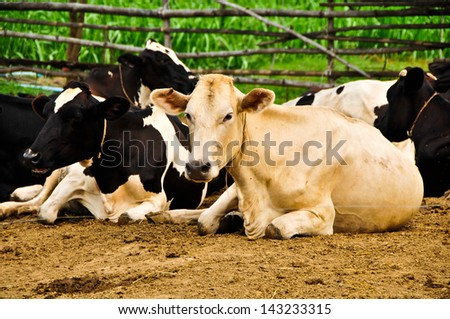 Cow farm in the rural areas of Thailand. - stock photo