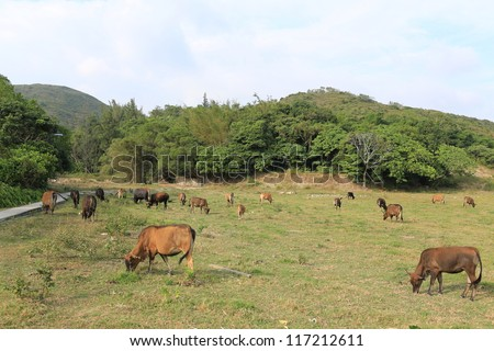 cow feeding on the grassland in Sai Kung, Hong Kong Global Geopark - stock photo