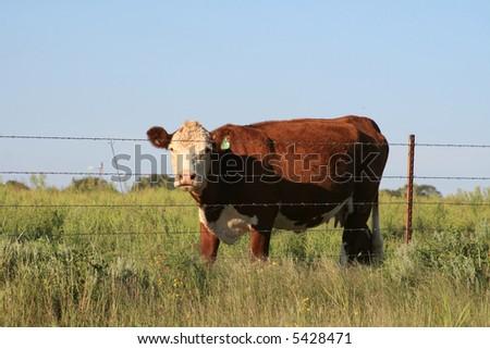 Cow Field - stock photo