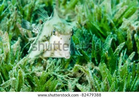 cow fish in sea grass - stock photo