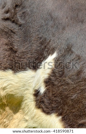 Cow fur background or texture. Fragment of a dark brown skin with white spots of a cow in the summer sun