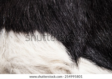 Cow Fur Hair Animal Skin Black and White for Background, Pattern, Wallpaper and Textured / Concept and Idea for Farm Life, Vintage Country Style, or Leather Industry. - stock photo