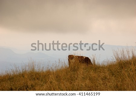 Cow grazing at alpine pasture in gloomy autumnal day. Silhouettes of Alps mountains at background. Selective focus in the cow. - stock photo