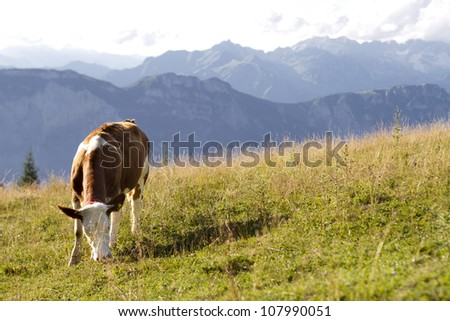cow grazing at high altitude - stock photo